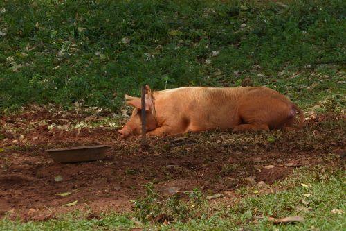kiaulė,purvas,sėti,purvas,laukiniai,gamta,Kuba