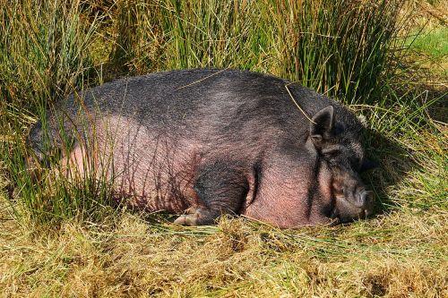 kiaulė,naminė kiaulė,gyvuliai,sėti,žinduolis,miegoti,laiminga kiaulė,puodynė kiaulė,nykštukas hausschwein,Moteris,garbanota uodega,juoda,gamta,laimingas