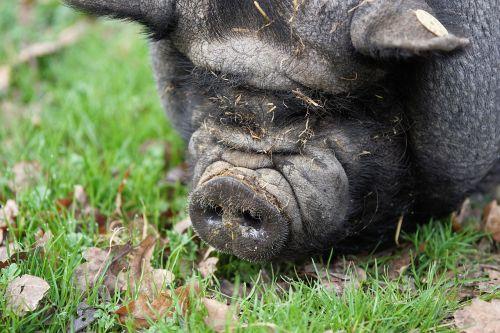 kiaulė,puodynė kiaulė,ūkis,naminė kiaulė,sėti,storas,naminis gyvūnėlis,riebalai