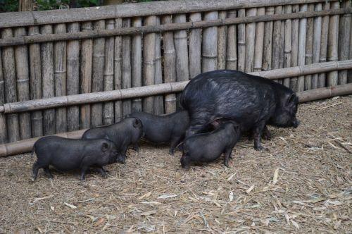 kiaulė,juoda,kiauliena,gyvūnas,sėti
