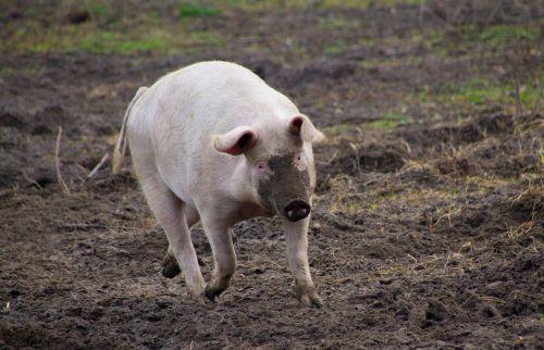 kiaulė,ūkis,purvinas,gyvuliai,proboscis,Žemdirbystė,sėti,gyvūnas,kiaulių veisimas,rožinis,laiminga kiaulė