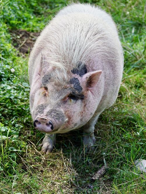 kiaulė,gyvūnas,laiminga kiaulė,ūkis,Žemdirbystė,naminė kiaulė,laimingas,paršelis,mielas,šalies kiaulė,kiaulės snukis,gyvūnų portretas,rožinis,plaukuotas,praleisti pigu