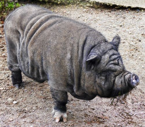 kiaulė,puodynė kiaulė,kiauliena,šerių galvijai,naminė kiaulė,laiminga kiaulė,atsipalaidavęs,taikus,patikimas,eurasisch,šeriai,vietnamiečių hängebauchschwein kiaulė,žinduolis,laukinės gamtos fotografija