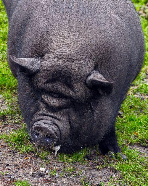 kiaulė,puodynė kiaulė,kiauliena,portretas,šerių galvijai,naminė kiaulė,laiminga kiaulė,atsipalaidavęs,taikus,patikimas,eurasisch,šeriai,vietnamiečių hängebauchschwein kiaulė,žinduolis,laukinės gamtos fotografija