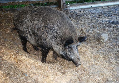 kiaulė,šernas,ūkis,žinduolis,vidaus,lauke,ūkio gyvūnai,kaimas,gyvuliai,ranča,Naminiai gyvūnai,žemės ūkio paskirties žemė