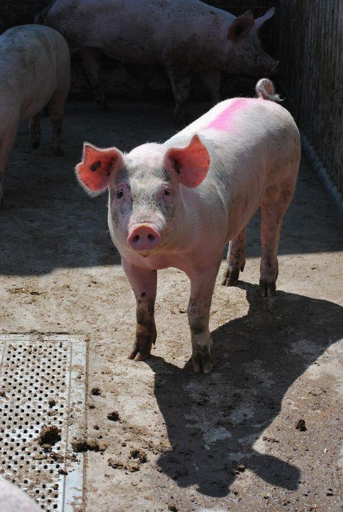 kiaulė,sėti,veisimas,gyvuliai,kiaulių veisimas,gyvūnų portretas