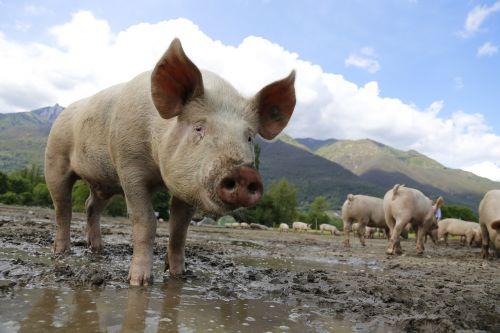 kiaulė,sėti,naminė kiaulė,gyvuliai,laiminga kiaulė,ūkis,Žemdirbystė,Šveicarija,Ticino