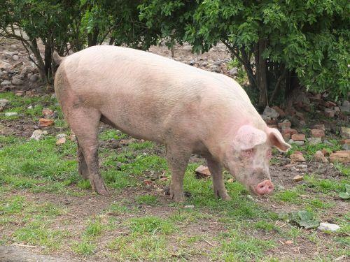 kiaulė,sėti,gyvuliai,Žemdirbystė,žinduolis,gyvūnas,purvinas,naminė kiaulė,kiaulių veisimas,rožinis