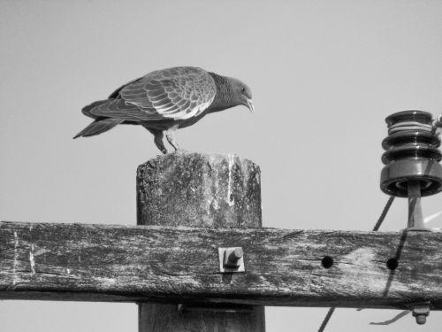 balandis,paukštis,gyvūnai,paukštis,gamta,balandžių lizdas,laisvė,baltas balandis,popietė,balandis,miestai,gyvūnas,juodas balandis,plumėjimas