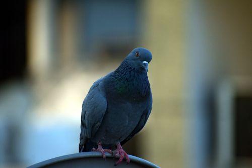 balandis,naminis balandis,columba livia domestica,žvilgsnis,smalsus,paukštis