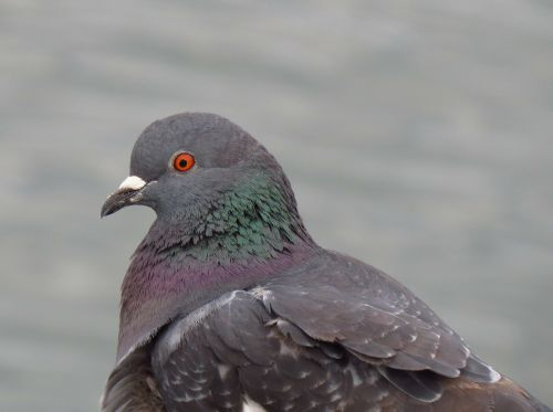 balandis,paukštis,pilka,balandis,nemalonumas,plunksnos,galva,gyvūnas,laukiniai,laukinė gamta,sutramdyti,mėlynas,žalias