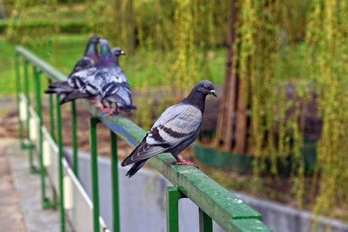 Pigeon, paukštis, gyvūnas, Rock Pigeon, Uolinis karvelis, vidaus karvelis, Columba livia domestica, Dove, pilka, plunksnos, akių, snapas, sėdi, tiltas geležinkelių, geležinkelių, tiltas, miesto