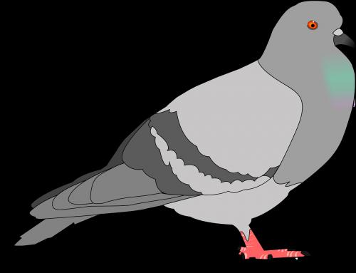 balandis,Rokas,pilka,šešėlis,paukštis,sparnai,plunksnos,pilka,laukinė gamta,columba,livia,paukštis,ornitologija,columbidae,nemokama vektorinė grafika