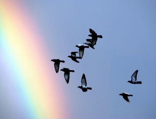 balandžiai,ekranas,po audros,skrydis,laisvė,paukščiai,po lietaus,dangus,bendradarbiavimas,vaivorykštė