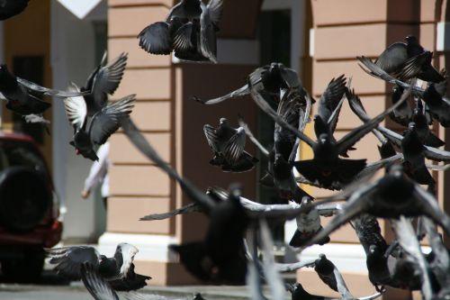 balandžiai,paukštis,roko balandis,laukiniai,skraidantis,balandis,columba,livia,pilka,paukštis,aves,fauna,avifauna