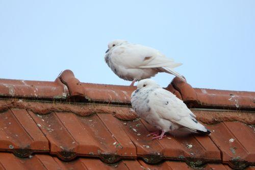 balandžiai,balandžių veisimas,balandis,baltas balandis,balandis,miesto paukštis,ant lentynos