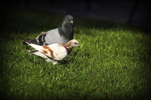 balandžiai, paukščiai, gyvūnija