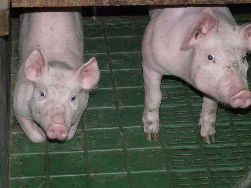 paršelis,kiaulė,jaunas,saldus,mielas,rožinis,stalas,gyvūnas,naminis gyvūnėlis,gyvuliai,veisimas,kiaulių veisimas