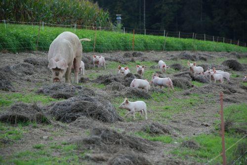 paršelis,mielas,gyvūnai,saldus,kiaulės,jaunas,žinduolis,jauni gyvūnai,sėti,laiminga kiaulė,motina,Žemdirbystė,ūkis,paarhufer,veisimas,kiaulių veisimas