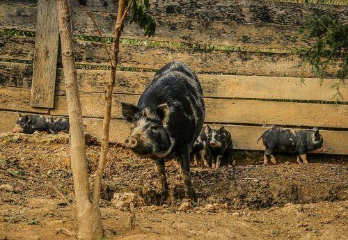 kiaulės,sėti,paršeliai,kiaulės,žinduolis,vidaus,gyvuliai,kiauliena,ūkininkavimas,kaimas,kiaulės,veisimas,kiaulė
