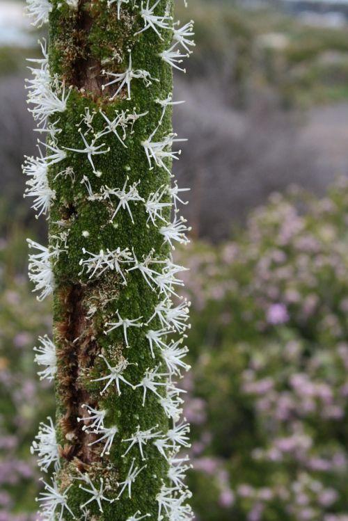 krūvos augalų žydėjimas,žvaigždžių gėlės suskaido,žiedas,žydėti,australian pfahlpfanze