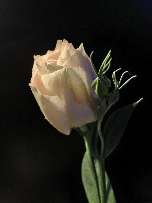 pimpollo baltos spalvos, baltos žiedlapių, Sodas, baltos spalvos, Žiedlapis, balta spalva, pobūdį, žiedlapiai, Balta gėlė, žydėjimo, pimpollo, žiedlapiais baltos spalvos, rožinė gėlė, gėlė, Grožio, baltos gėlės