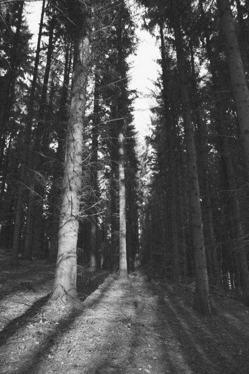 pušis,medis,pušis,gamta,miškas,mediena,bagažinė,filialas,laukiniai,kraštovaizdis,miškininkystė,dykuma,lauke