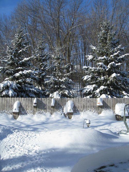 pušis,medžiai,ir sniegas,sezonas,balta,šaltas,ledas,sniegas,žiema,šaltis,snieguotas,sušaldyta,lauke,oras,sniegas,Saunus,ledinis,sniegas,blizzard,sniegas