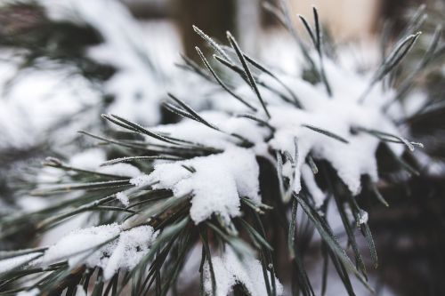 pušis,medis,visžalis,žalias,balta,sniegas,šviežias,žiema,Iš arti,Iš arti,Iš arti,išsamiai,makro,gamta,filialas,filialai,šaltas,xmas,Kalėdos
