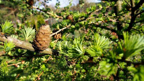 pušies kūgis,maumedis,gamta,medis,sprigas,Iš arti,maumedžio adatos,iglak,spygliuočių medžiai,aiškumas,maumedžio spurgos,žalias,saulėtas,brendimas,spygliuočių