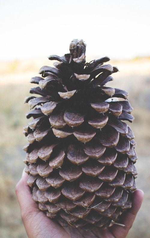 pušies kūgis, didelis, ruda, didelis, spygliuočių, apdaila, lauke, didelis, pinecone, natūralus, sėklos, sezoninis, detalus, makro, Iš arti, ranka, ūkis, medžiaga