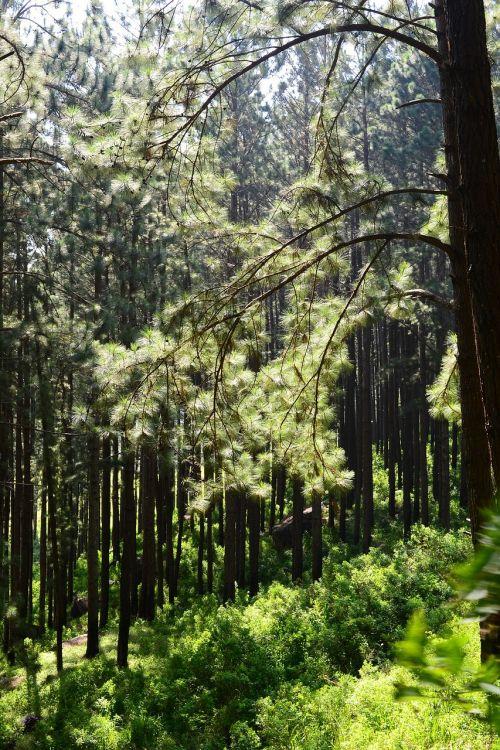 pušynas,atgal šviesa,medžiai,aukšti medžiai,loolecondera,delta,ceilonas