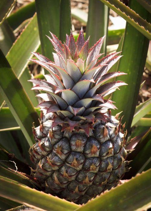 ananasai,vaisiai,lapai,Pina Colada,desertas,augalai