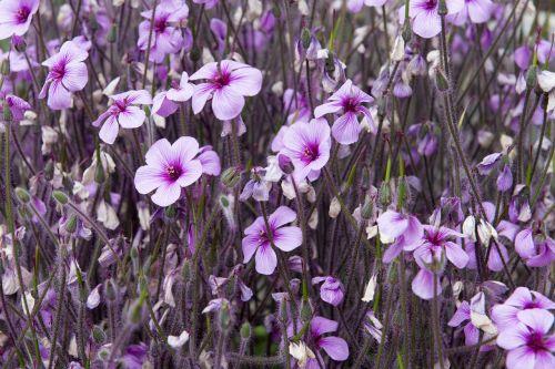 rožinis,spalvinga,spalvinga,gėlė,violetinė,žiedas,žydėti,gėlių,spalva,rožinės gėlės