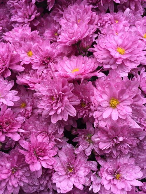 rožinis,gėlės,puokštė,žiedas,graži,maža gėlė,ruduo,hortenzija,violetinė,laimingas,žiedlapis,gėlių sodai,gamta,augalai