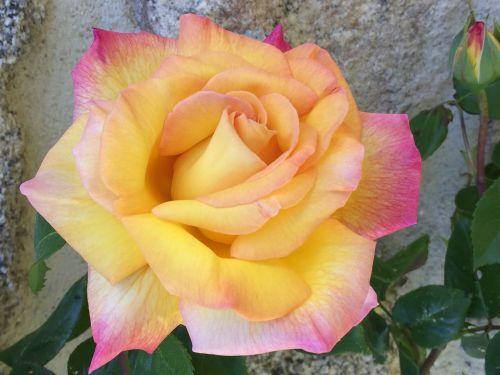 rožinis,oranžinė,gėlė