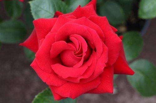 rožinis, raudona, Vestuvės, gimtadienis, meilė, riebalų, Raudona roze, rožių krūmas, pobūdį, rožinė gėlė, raudona gėlė, gėlė