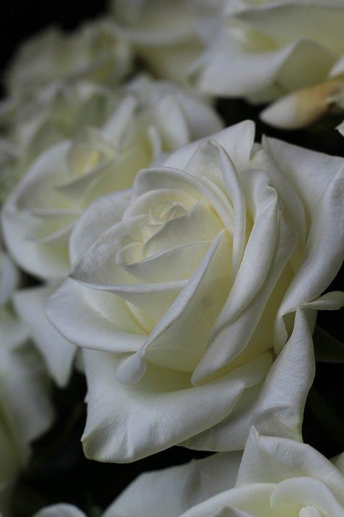 rožinis, baltos spalvos, pobūdį, rožių krūmas, gėlės, puokštė, fonas, Balta gėlė, baltos žiedlapių, baltos rožės, blyškiai rožinė