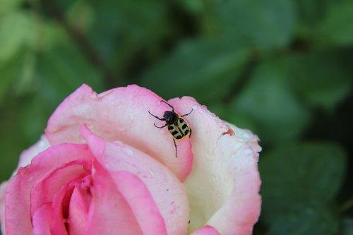 rožinis, rožinė rožė, rožių krūmas, Cetonia, vabzdys, vabalas