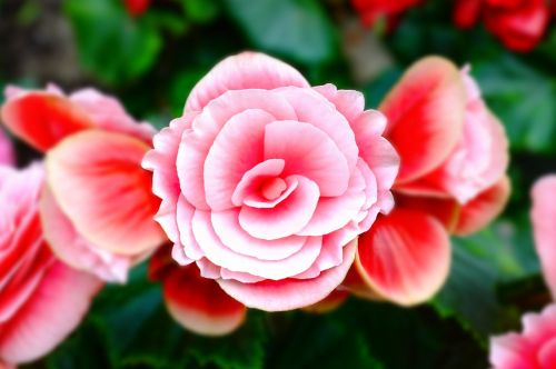 rožinis,gėlė,gamta,gėlių,žiedlapis,pavasaris,žiedas,sodas,rožinės gėlės,vasara,žydėti,romantiškas,spalvinga,balta,botanikos