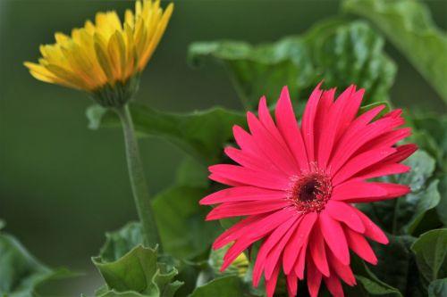 gamta, augalai, gėlės, flora, rozės, Daisy, Gerber & nbsp, Daisy, rožinė & nbsp, gėlė, rožinė & nbsp, daisy, rožinis & nbsp, gerberas & nbsp, daisy, Iš arti, tamsi & nbsp, žalios spalvos & nbsp, lapai, gelsva & nbsp, daisy, geltona & gerbė & nbsp, daisy, rožinės ir geltonos gerberlio daržovės