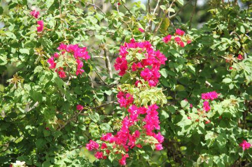 rožinė & nbsp, bugambilija, bugambilija, rožinė & nbsp, gėlė, vynuogynai, lapai, žiedlapiai, stiebai, rožinė bougambilla
