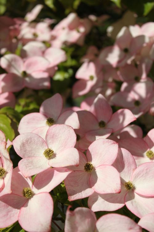 rožinė šukutė,šilkmedis,medis,ornamentinis medis,rožinės žiedai,rožinis,žiedai,pavasaris,vasara,sodininkystė,saulės šviesa,vestuvės,žalias,alyvmedžio žalia,graži,gėlės,žydintis medis,šiltas,augalas,medis,vasaros augalas,žydėti,gėlių,makro,žydi