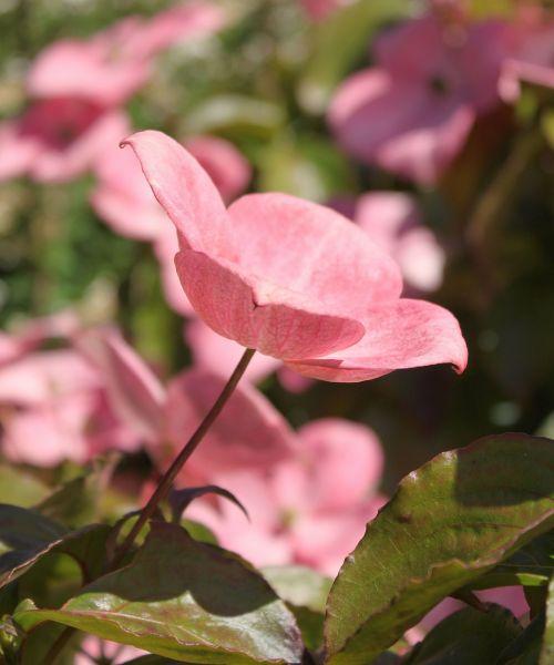 rožinė šukutė,šilkmedis,medis,ornamentinis medis,rožinės žiedai,rožinis,žiedai,pavasaris,vasara,sodininkystė,saulės šviesa,vestuvės,žalias,alyvmedžio žalia,graži,gėlės,žydintis medis,šiltas,augalas,medis,vasaros augalas,žydėti,gėlių,makro,lauke