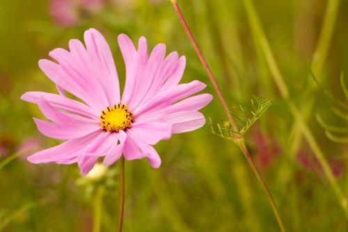 rožinė gėlė,kosmosas,kosmee,lankstinukas leved schmuckblume,cosmos bipinnatus,rožinis,žiedas,žydėti,gėlė,augalas,gamta,Uždaryti,makro,violetinė