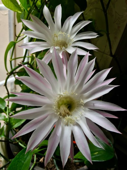 rožinė gėlė,balti žiedlapiai,gėlė,žiedlapiai,sodas,rožių žiedlapiai,pistils,balta,gėlės,gamta,rožinis,pavasaris,rožinės žiedlapių