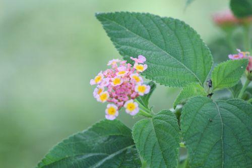 rožinė & nbsp, gėlės, gėlės, lapai, žiedlapiai, mažos & nbsp, gėlės, stiebas, geltonos spalvos & nbsp, gėlės, lapai, rausvos gėlės