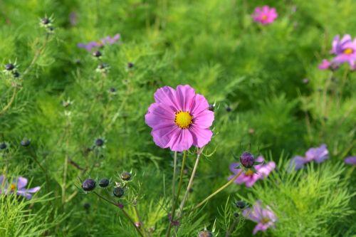 rožinės gėlės,kampinis kaimiškas,gamta,masyvas,gėlė,rožinis,žalias,lapija,botanikos sodas,didžiulė puokštė,Šalis,gėlės kietos,augalai žydintys,didžiulės gėlės,purpurinės gėlės