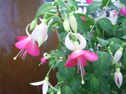 fuksija, augalas, gėlė, rožinis, graži, sodas, gamta, rožinė fuksija