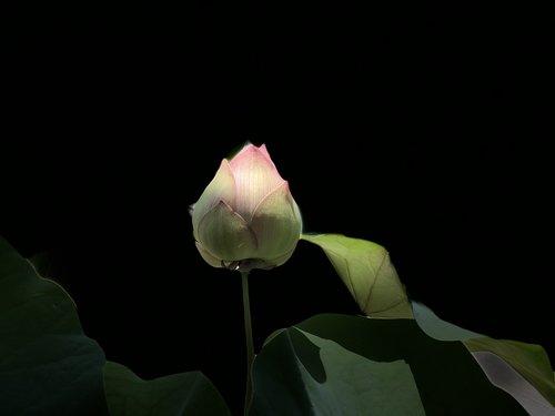 rožinė Lotus, šviesos, subtilus, juodos spalvos, BUD, Lotus